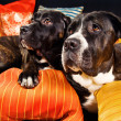 Stock Photo: Two cane corso dogs resting on couch