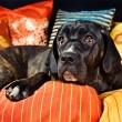 Cute cane corso dog resting on pillows — Stock Photo #1557088