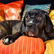 Stock Photo: Cute cane corso dog resting on pillows