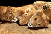 Two lazy young lions — Stock Photo