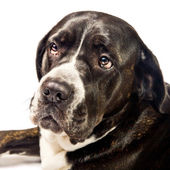 Closeup of a cute cane corso dog — Stock Photo