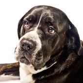 Closeup of a cute cane corso dog — Stock Photo