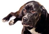 A cute cane corso dog — Stock Photo