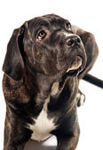 Cute cane corso dog looking up — Stock Photo