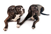 Two cute cane corso dogs — Stock Photo