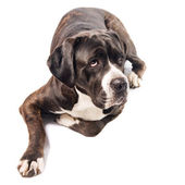 Cute cane corso dog lying on the ground — Stock Photo