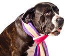 Sad looking cane corso dog — Stock Photo