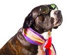 Cute cane corso dog — Stock Photo