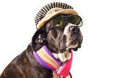 Cute cane corso dog dressed for winter — Stock Photo