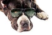 Cane corso dog wearing glasses — Stock Photo