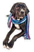 Cute cane corso dog wearing a shawl — Stock Photo