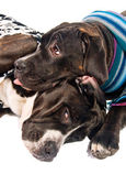 Two cane corso dogs dressed for winter — Stock Photo