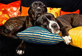 Two cane corso dogs resting on a couch — Stock Photo