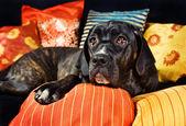 A cute cane corso dog resting on pillows — Stock Photo