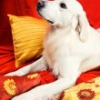 A beautiful retriever lying on a bed — Stock Photo #1723425