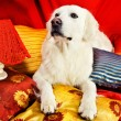 A beautiful retriever lying on a bed — Stock Photo #1723490