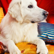 A beautiful retriever lying on a bed — Stock Photo #1723527