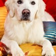 A beautiful retriever lying on a bed — Stock Photo