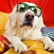 Stock Photo: A beautiful retriever lying on a bed