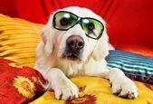 Güzel bir av köpeği bir yatakta yatarken — Stok fotoğraf