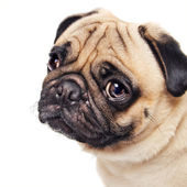 Cute sad pug face isolated on white — Stock Photo