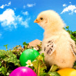 Baby Easter chick with painted eggs - Stock Photo