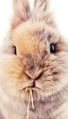 Cute bunny chewing on a straw — Stock Photo