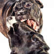 Stock Photo: Two cane corso dogs playing and fighting