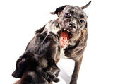 Two cane corso dogs playing and fighting — Stock Photo