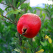 Pomegranate - Stockfoto