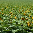 Sunflower field — Stock Photo #1558428