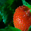 Thrickets of a strawberry - Stockfoto