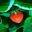 thrickets of a strawberry — Stock Photo