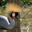 Crowned crane — Stock Photo #1559872