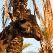 Royalty-Free Stock Photo: Portrait of a giraffe against palm trees