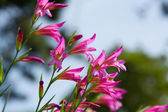 Wild Gladiolus — Stock Photo