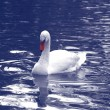 Stock Photo: The white swan