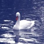 The white swan — Stock Photo