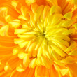 Chrysanthemum — Stock Photo #1560597