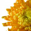 Chrysanthemum — Stock Photo #1560622