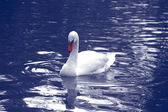 The white swan — Stock Photo