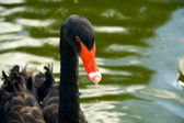 The black swan — Stock Photo