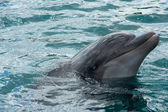 Bottlenose Dolphin — Stock Photo