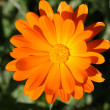 Flower of calendula - Stock Photo