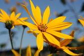 Helianthus tuberosus - yellow flowers — Stock Photo