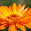 Calendula — Stock Photo #1597519