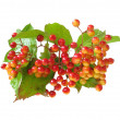 Stock Photo: Guelder-rose