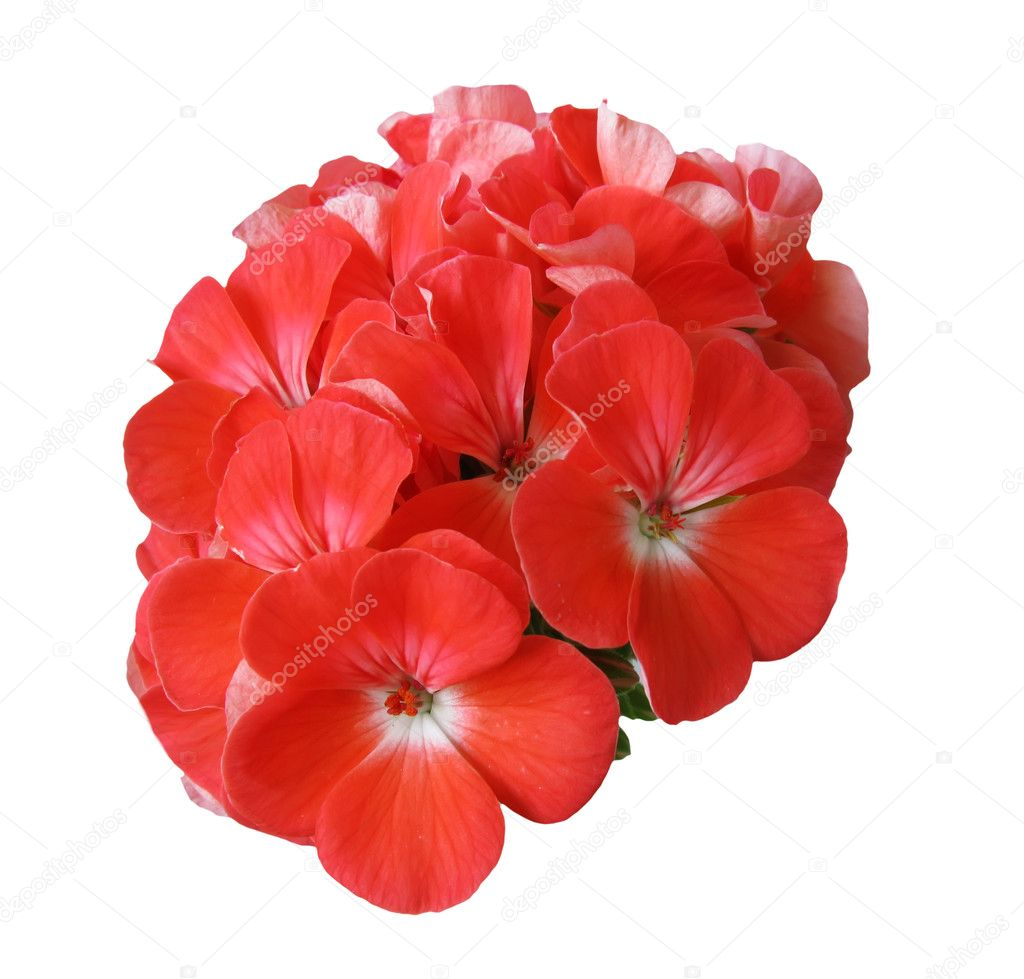 Geranium flower — Stock Photo #1598462