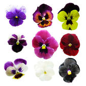 Pansies — Stock Photo