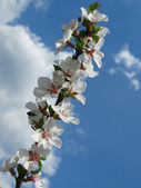 Blossoming cherry — Stock Photo